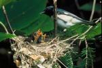Black-throated blue warbler.  Photo by S. Maslowski, USFWS