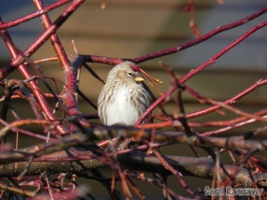 A Common Redpoll in Red Osier Dogwood