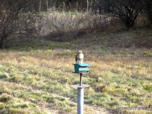 A Red-tailed Hawk atop a feeder in Shoreham