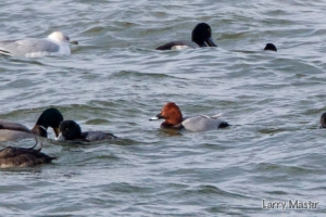 Common Pochard taken Jan. 2