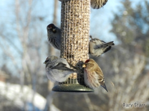 Hoary Redpoll on the lower left