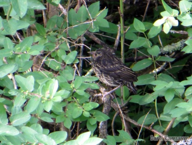 Newly Fledged Red-winged Blackbird