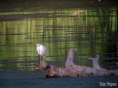 Juvenile Little Blue Heron