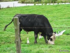 Typical behavior around cows