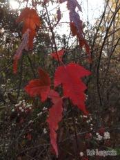 Pretty but invasive Amur Maple
