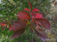 Closeup of Apple leaves