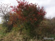 A stressed Apple tree showing brilliant colors