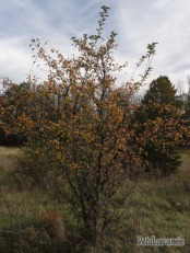 Crab-apple heavy with fruit