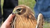 A Northern Harrier from the banding station
