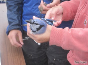 Blue Jay at the banding station