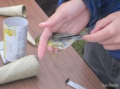 Taking wing measurements of a Blackpoll Warbler