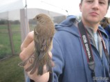 A late Indigo Bunting, one of the best catches of the day at the banding station