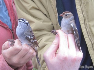 Adult and juvenile White-crowned Sparrows