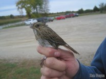 Lincoln's Sparrow delivered to the view of the Big Sit circle