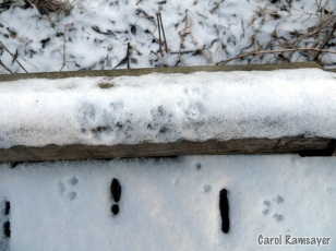 Mouse and Squirrel tracks on the boardwalk