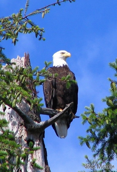 A Bald Eagle in Vermont