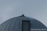 Snowy Owl atop a silo