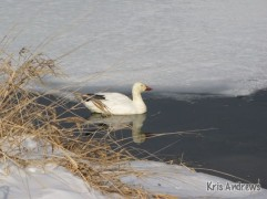 Snow Goose, Kris Andrews
