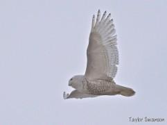 Snowy Owl flying, Taylor Swanson