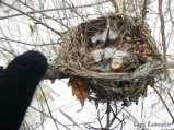 A rodent's food cache in an old bird nest