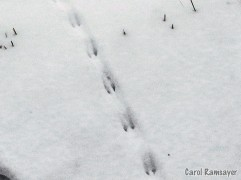 Rodent trail