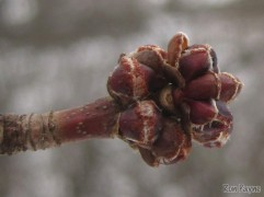 Swellng Maple Buds