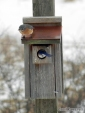 Bluebirds investigating a nest box