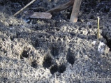 Frosty fox tracks in mud