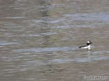 Bufflehead emerging