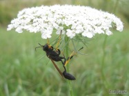 Black and Yellow Mud Dauberwith a parasol
