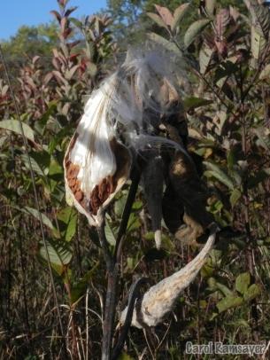 Seeding Common Milkweed