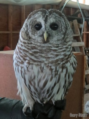 Live Barred Owl