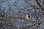 Cooper's Hawk at the Hurd Grassland