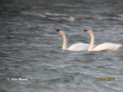 Tundra Swan 11s (2 adults) in White Bay in Panton, VT on 11-14-14