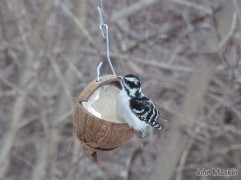 Downy Woodpecker in Weybridge