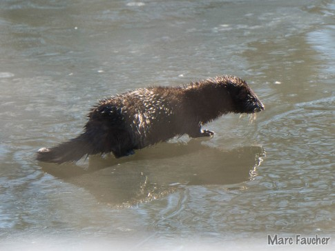 Mink on the Little Otter Creek