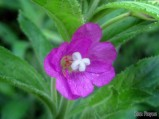 Hairy Willow-herb (Epilobium hirsutum)