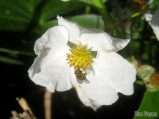 Hoverfly on Northern Arrowhead