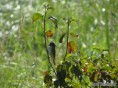 Empidonax flycatcher, likely an Alder.