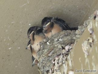 Barn Swallow Chicks