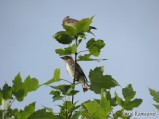 Adult and immature Cedar Waxwing