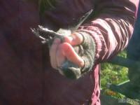A newly banded Gray Catbird