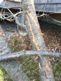 Scratches on Apple tree's bark.