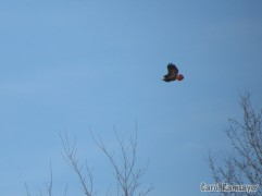 The resident Hurd Red-tailed Hawk....