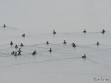 Canada Geese swimming away from us.