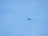 """Osprey """"sky dancing"""""""