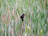Red-winged Blackbird carrying food