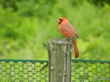 Odd-billed Northern Cardinal