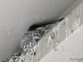 Nesting Barn Swallow