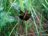Female Widow Skimmer